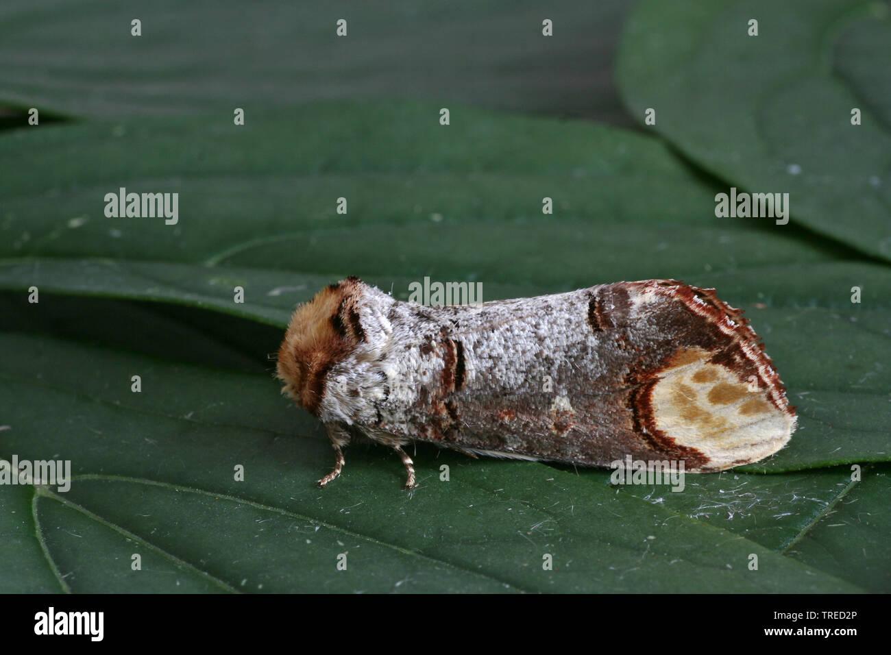 Mondvogel, Mondfleck (Phalera bucephala), sitzt auf einem Blatt, Seitenansicht, Niederlande | Buff-tip moth, Buff tip caterpillar (Phalera bucephala), - Stock Image