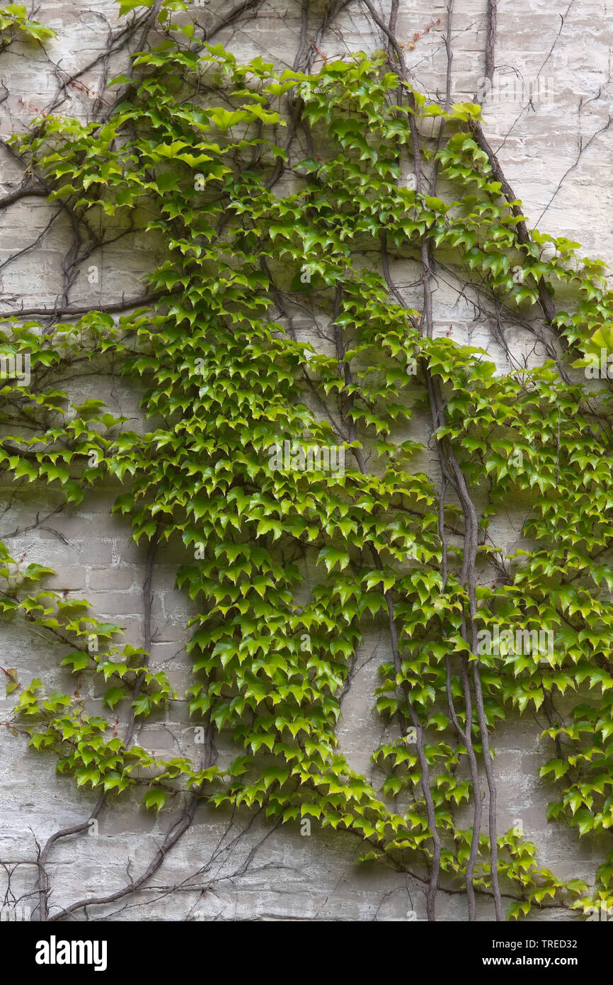 ivy on a house wall in Berlin - Stock Image