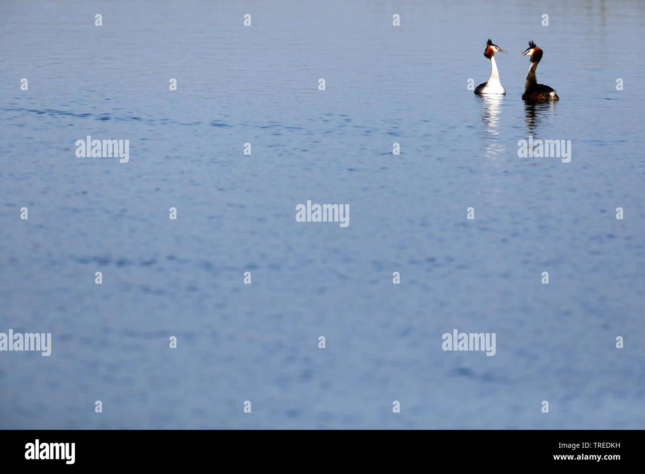 Haubentaucher, Hauben-Taucher (Podiceps cristatus), schwimmendes Paar, Niederlande, Suedholland   great crested grebe (Podiceps cristatus), swimming p - Stock Image