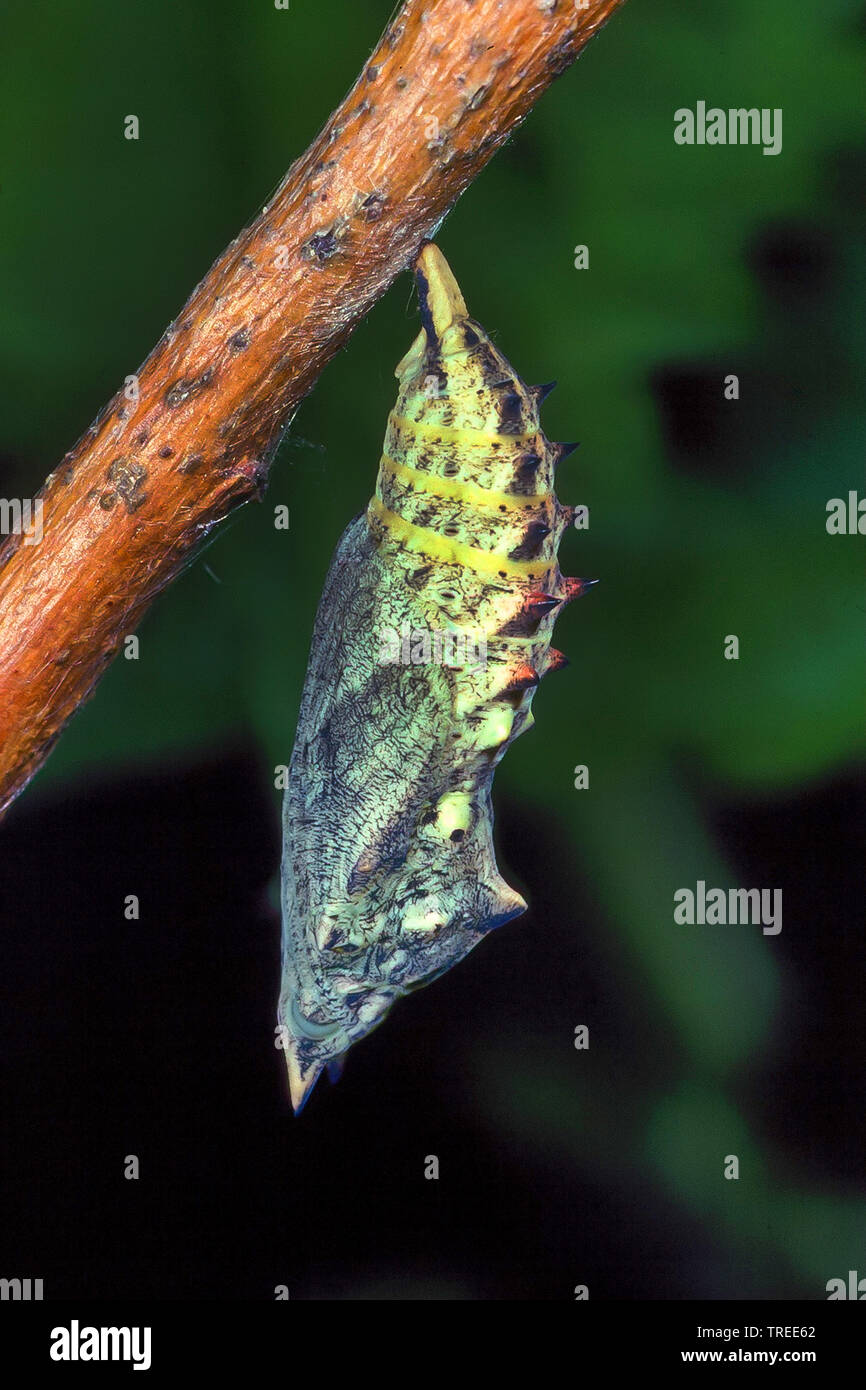 Peacock butterfly, European Peacock (Inachis io, Nymphalis io, Aglais io), pupa, series picture 3/4, Germany Stock Photo