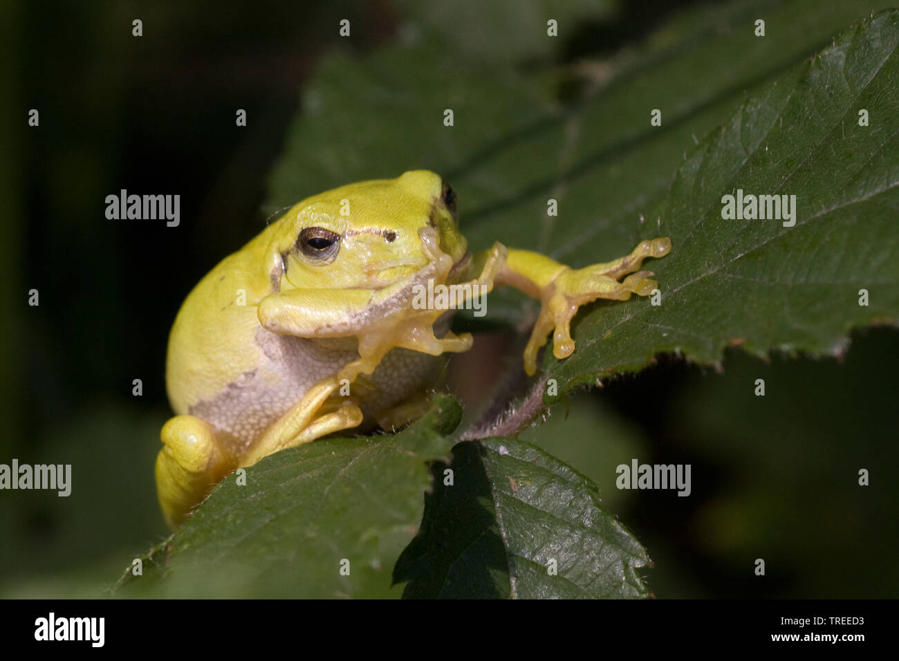 Europaeischer Laubfrosch (Hyla arborea), sitzt auf einem Blatt, Niederlande | European treefrog, common treefrog, Central European treefrog (Hyla arbo - Stock Image