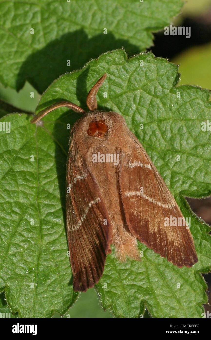 Brombeerspinner, Brombeer-Spinner (Macrothylacia rubi), sitzt auf einem Blatt, Niederlande | fox moth (Macrothylacia rubi), sits on a leaf, Netherland - Stock Image