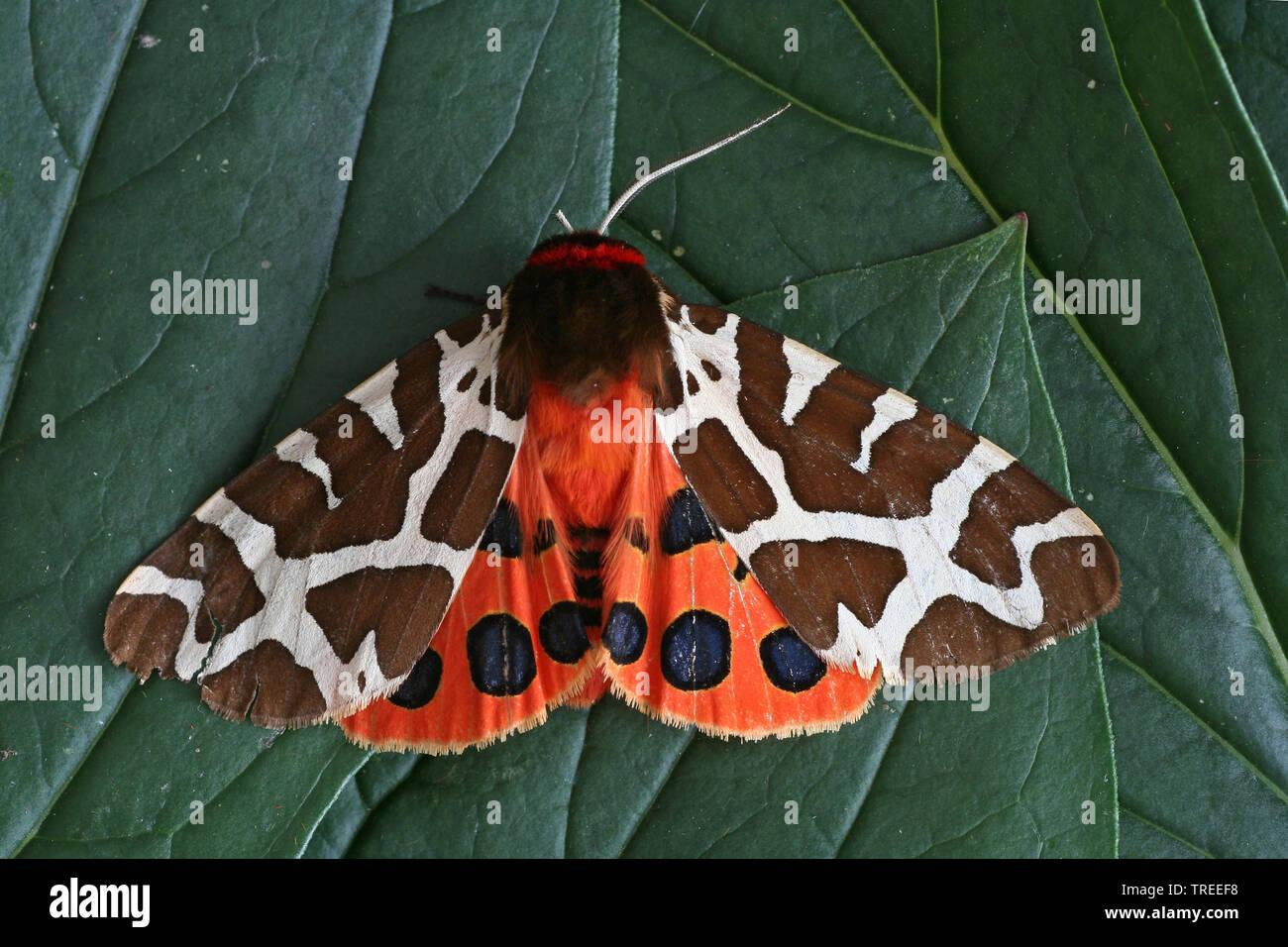 Brauner Baer (Arctia caja), sitzt auf einem Blatt, Niederlande | Garden tiger moth, Great tiger moth (Arctia caja), sits on a leaf, Netherlands | BLWS - Stock Image
