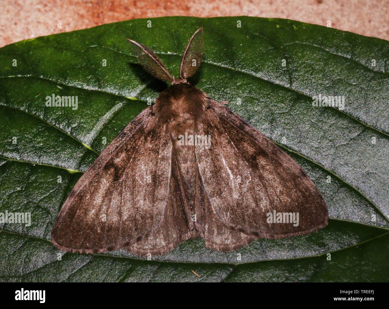 Schwammspinner, Schwamm-Spinner (Lymantria dispar), sitzt auf einem Blatt, Niederlande | Gipsy moth (Lymantria dispar), sits on a leaf, Netherlands | - Stock Image