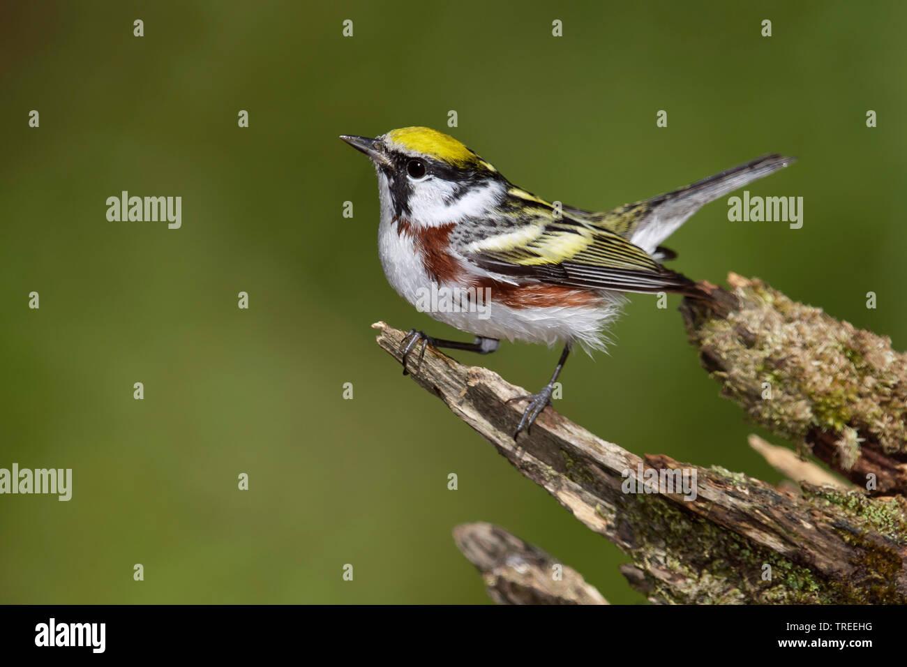 Chestnut-sided Warbler (Setophaga pensylvanica), male, USA, Colorado Stock Photo