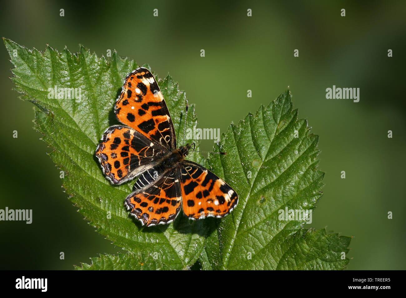 Landkaertchen, Landkaertchenfalter, Landkaertchen-Falter (Araschnia levana), sitzt auf einem Blatt, Aufsicht, Niederlande | map butterfly (Araschnia l - Stock Image