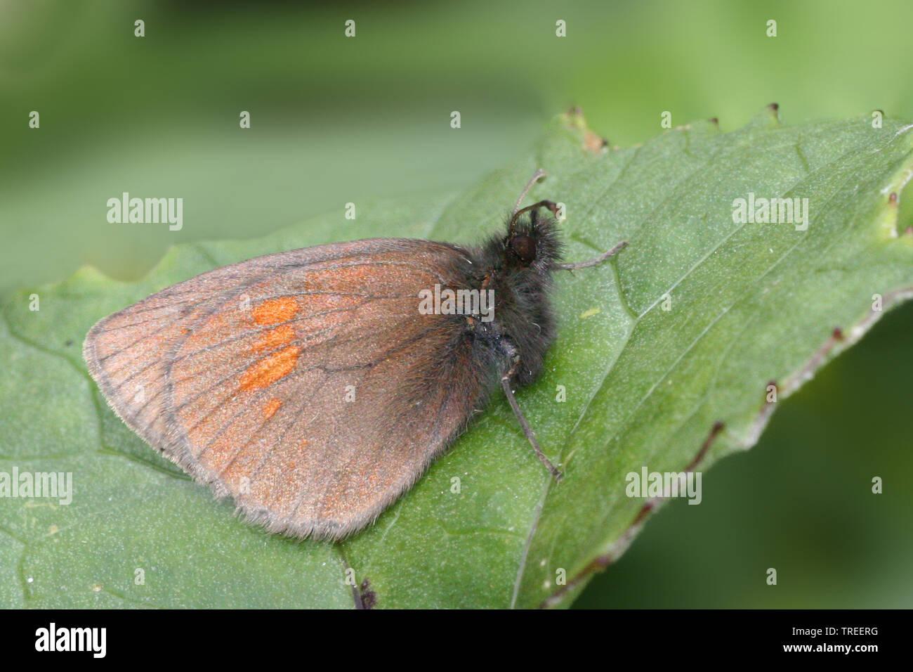 Kleiner Mohrenfalter (Erebia melampus), sitzt auf einem Blatt, Niederlande | Lesser mountain ringlet (Erebia melampus), sits on a leaf, Netherlands | - Stock Image