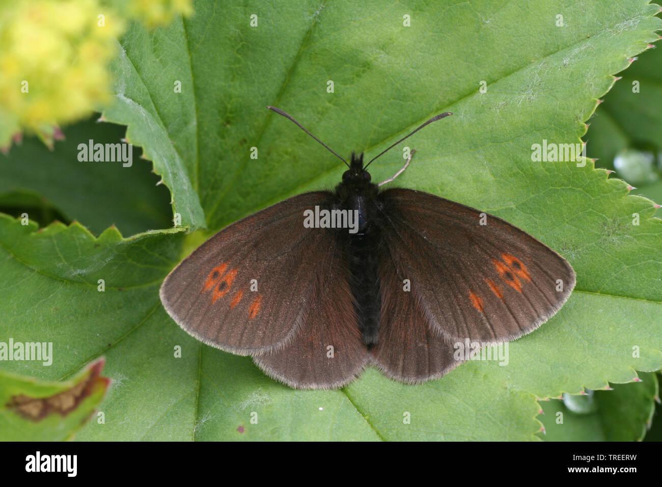 Knochs Mohrenfalter, Kleiner Brocken-Mohrenfalter (Erebia epiphron), sitzt auf einem Blatt, Oesterreich, Hohe Tauern Nationalpark | mountain ringlet ( - Stock Image