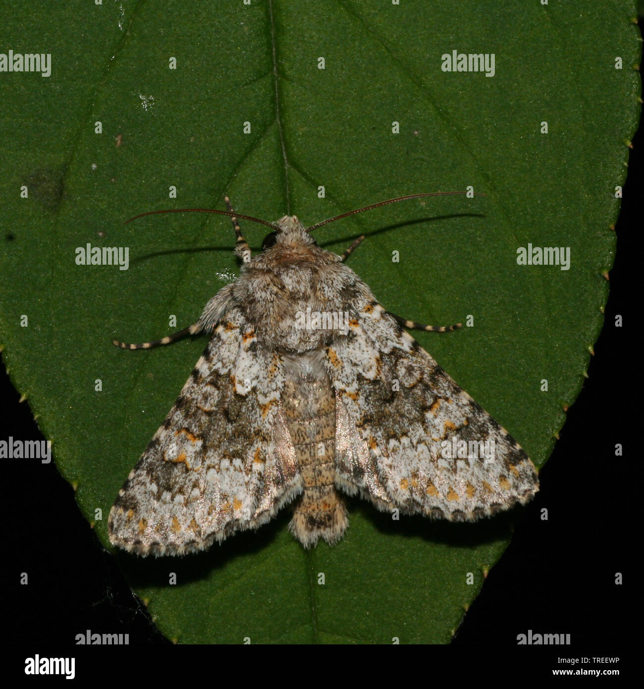 Kompasslatticheule, Kompasslattich-Eule (Hecatera dysodea), sitzt auf einem Blatt, Niederlande | small ranunculus (Hecatera dysodea), sits on a leaf, - Stock Image
