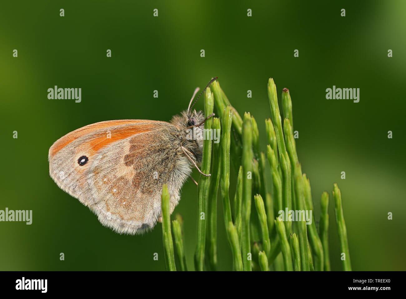 Kleines Wiesenvoegelchen, Wiesen-Voegelchen, Wiesenvoegelchen, Kleiner Heufalter (Coenonympha pamphilus), sitzt an Schachtelhalm, Niederlande | small - Stock Image