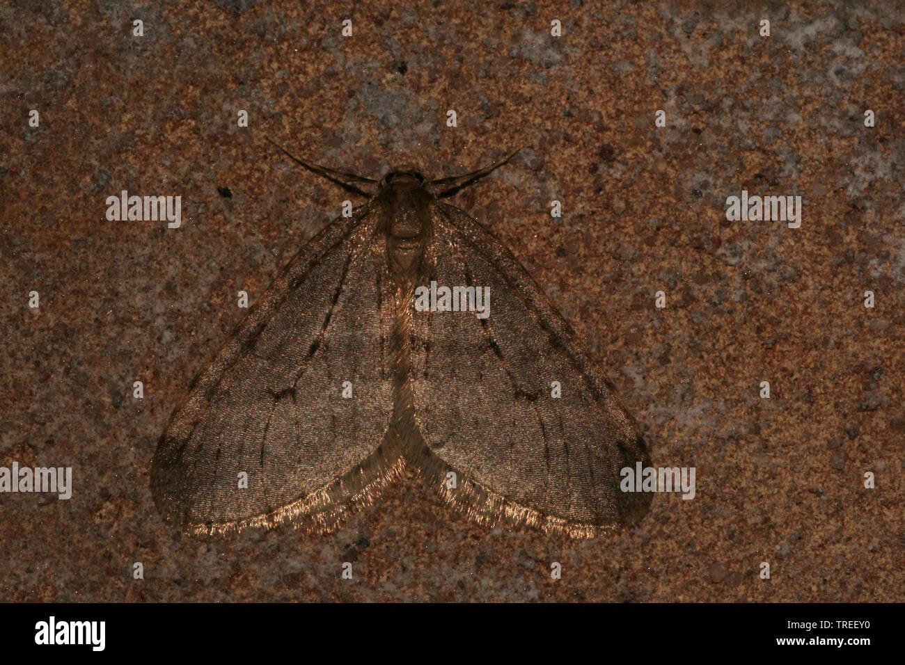 Gemeiner Frostspanner, Obstbaumfrostspanner, Kleiner Frostspanner (Operophtera brumata, Cheimatobia brumata), sitzt auf einem Stein, Niederlande | win - Stock Image
