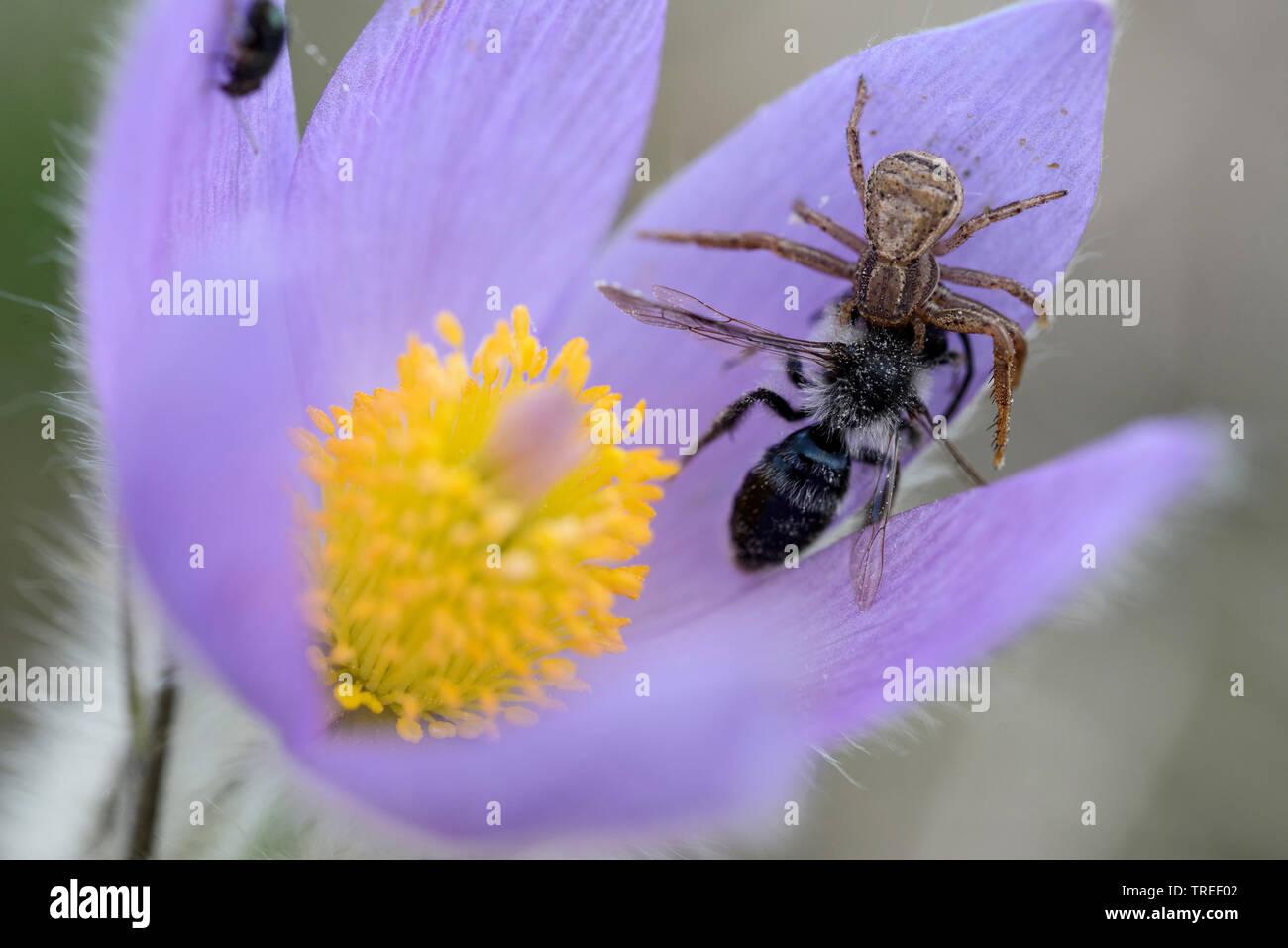 Braune Krabbenspinne, Busch-Krabbenspinne, Buschkrabbenspinne (Xysticus cristatus), mit gefangener Wildbiene auf Kuechenschellenbluete, Deutschland, B - Stock Image
