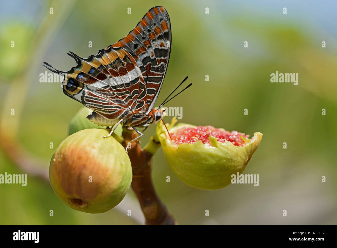 Erdbeerbaumfalter, Erdbeerbaum-Falter (Charaxes jasius), saugt an Feigen, Kroatien | Two-tailed Pasha, Foxy Emperor (Charaxes jasius), sucks on a fig, - Stock Image