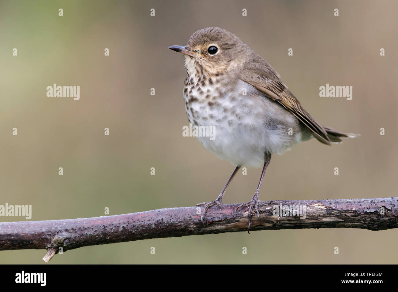 swainson's thrush (Catharus ustulatus), sitting on a branch, USA, Texas Stock Photo