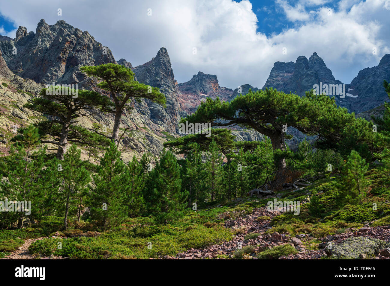 Foehre, Waldkiefer, Wald-Kiefer, Gemeine Kiefer (Pinus sylvestris), Kiefern im oberen Asco-Tal bei Sonnenaufgang, Frankreich, Korsika | Scotch pine, S - Stock Image