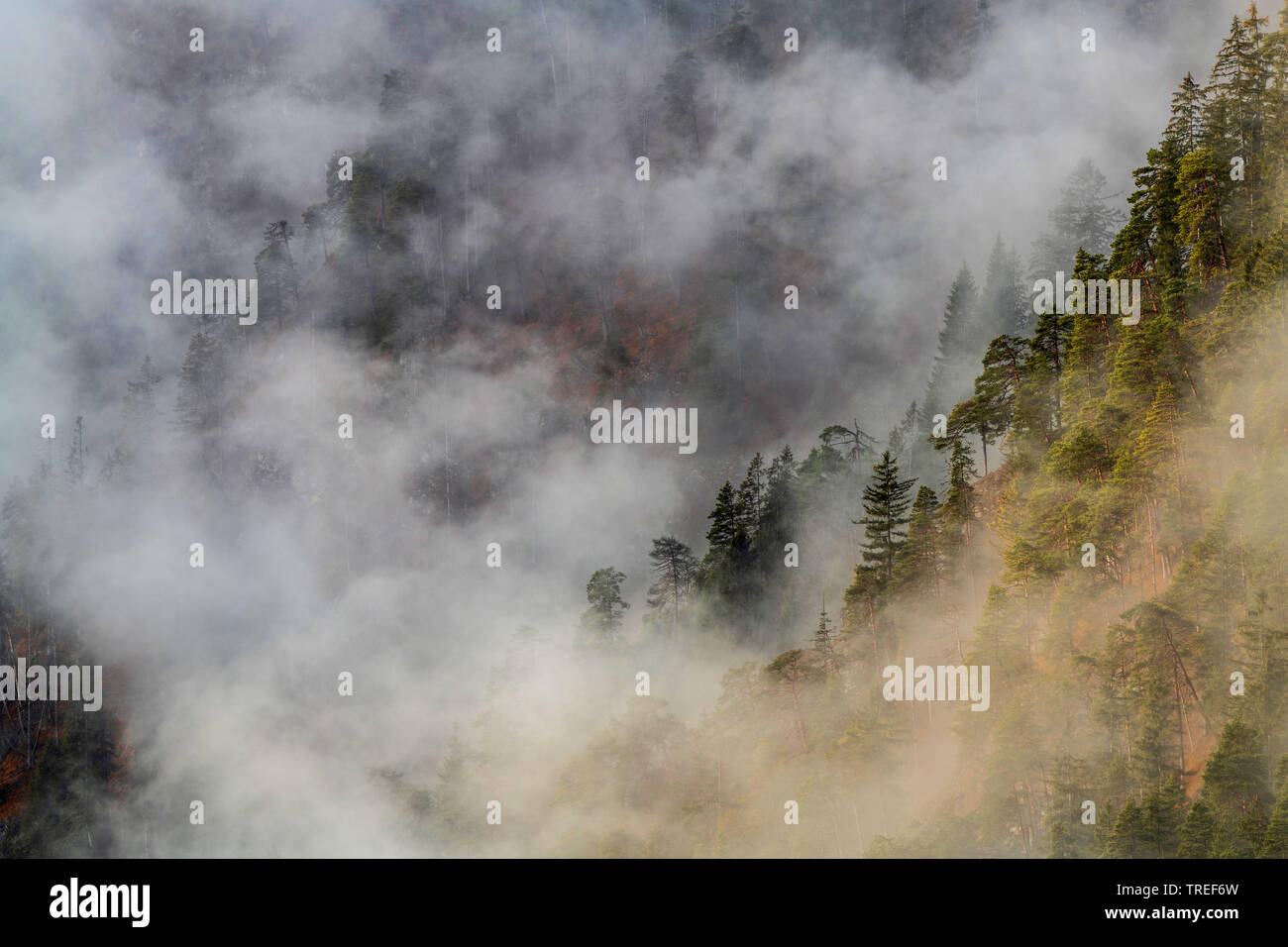 trees on a mist-shrouded mountain slope, Germany, Bavaria Stock Photo