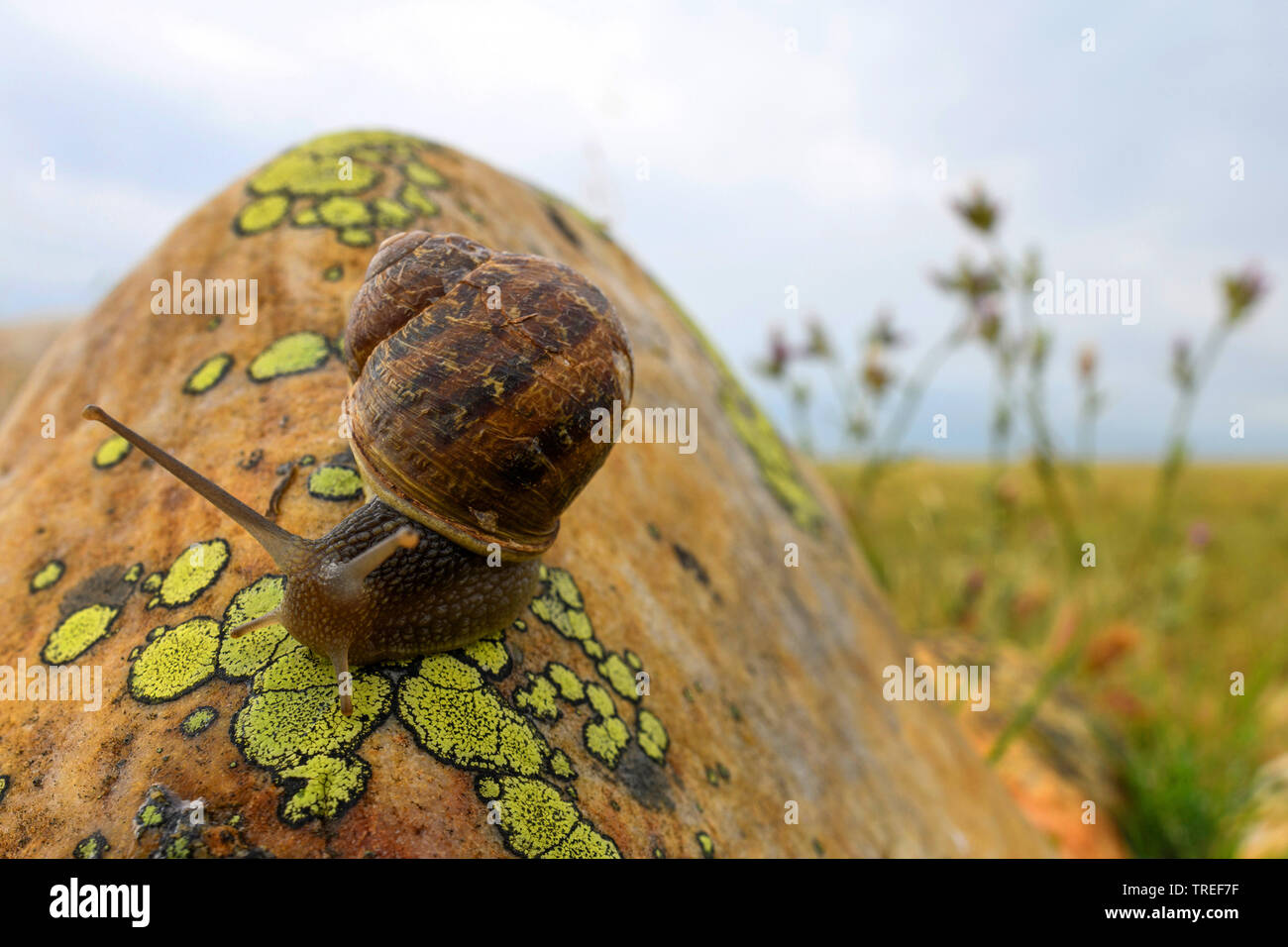 snail on a lichen-covered rock at the Crau, France, Provence Stock Photo