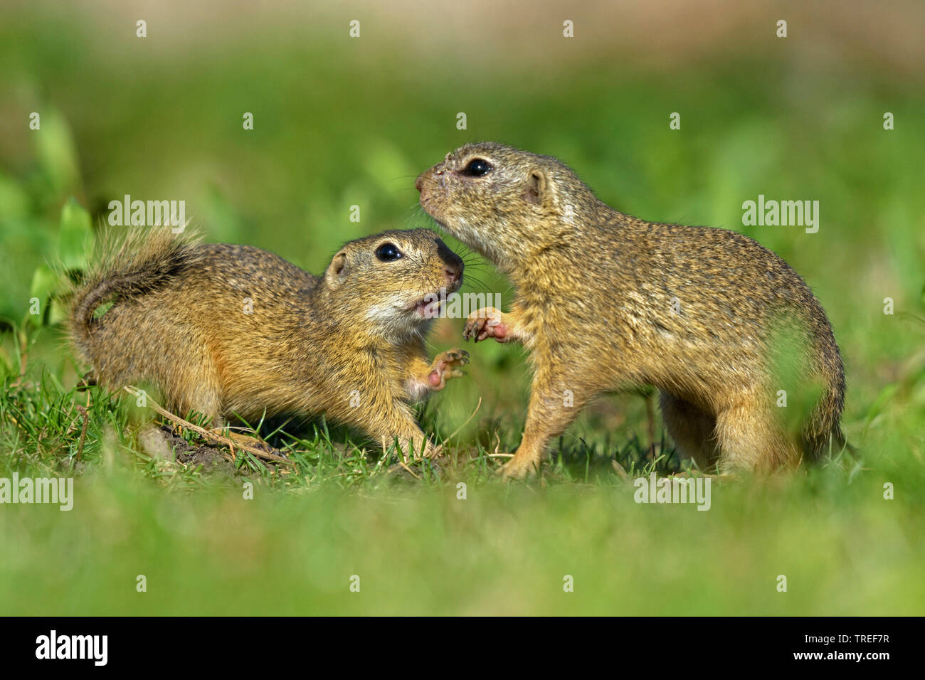European ground squirrel, European suslik, European souslik (Citellus citellus, Spermophilus citellus), male sniffing at a female in a meadow, side view, Austria, Burgenland, Neusiedler See National Park Stock Photo