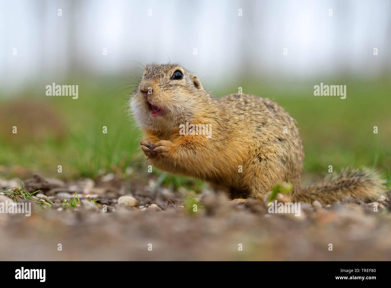 European ground squirrel, European suslik, European souslik (Citellus citellus, Spermophilus citellus), foraging on the ground, side view, Austria, Burgenland, Neusiedler See National Park Stock Photo
