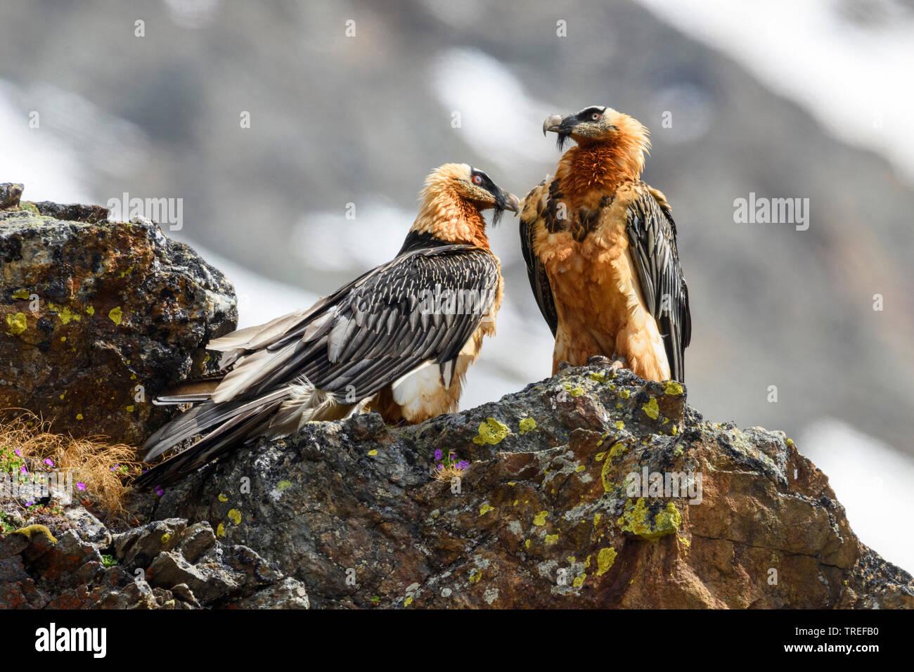 Bartgeier, Bart-Geier, Laemmergeier, Laemmer-Geier (Gypaetus barbatus), Paar sitzt auf Felsen, Italien   Lammergeier, Bearded Vulture (Gypaetus barbat - Stock Image