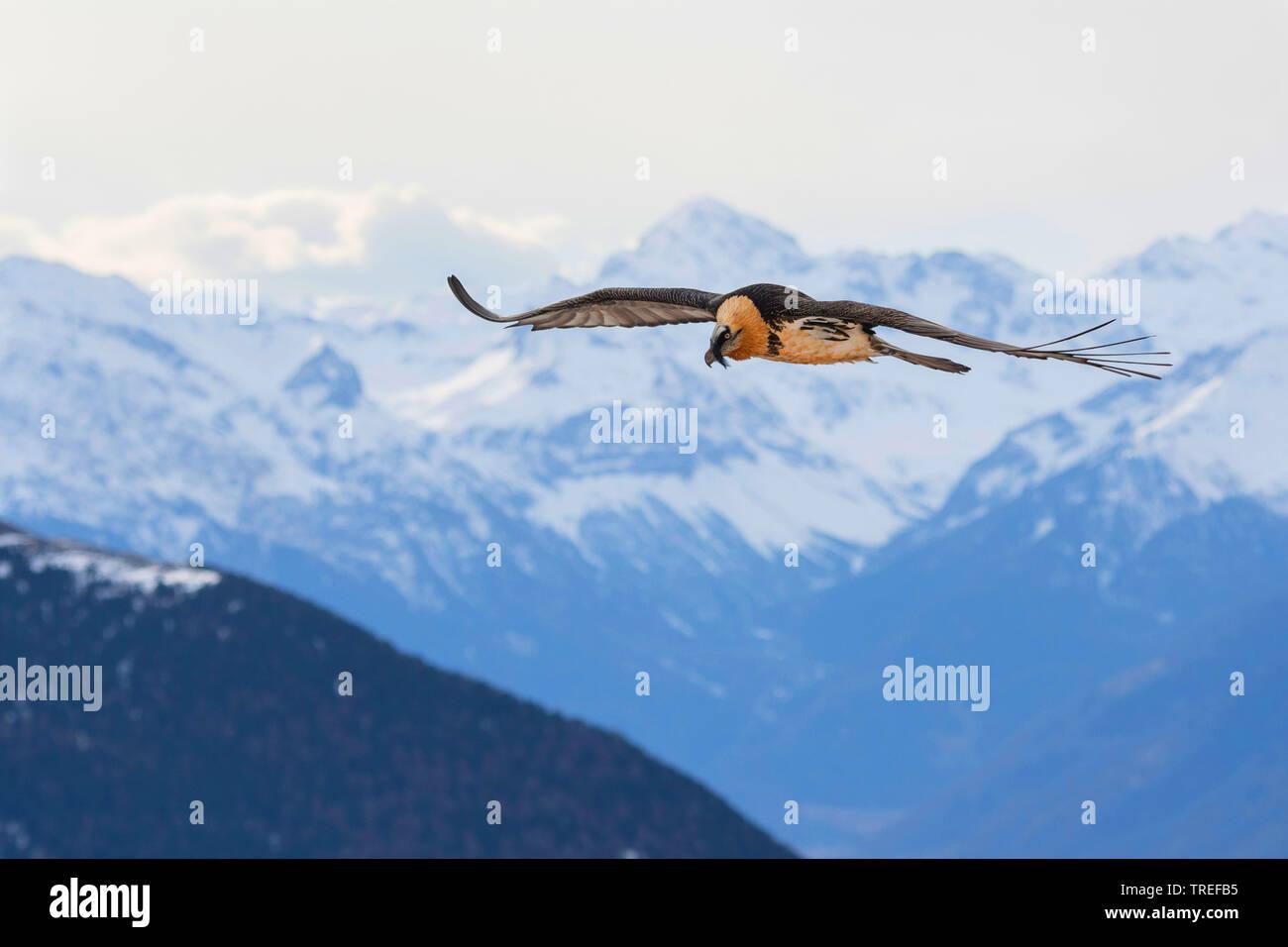 Bartgeier, Bart-Geier, Laemmergeier, Laemmer-Geier (Gypaetus barbatus), im Flug, Italien, Suedtirol | Lammergeier, Bearded Vulture (Gypaetus barbatus) - Stock Image