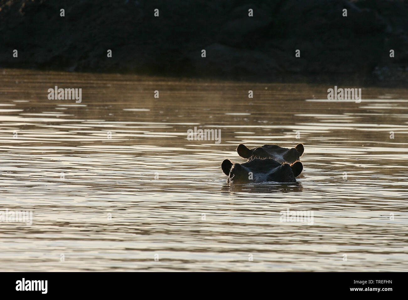 hippopotamus, hippo, Common hippopotamus (Hippopotamus amphibius), two hippos looking out the water, South Africa Stock Photo