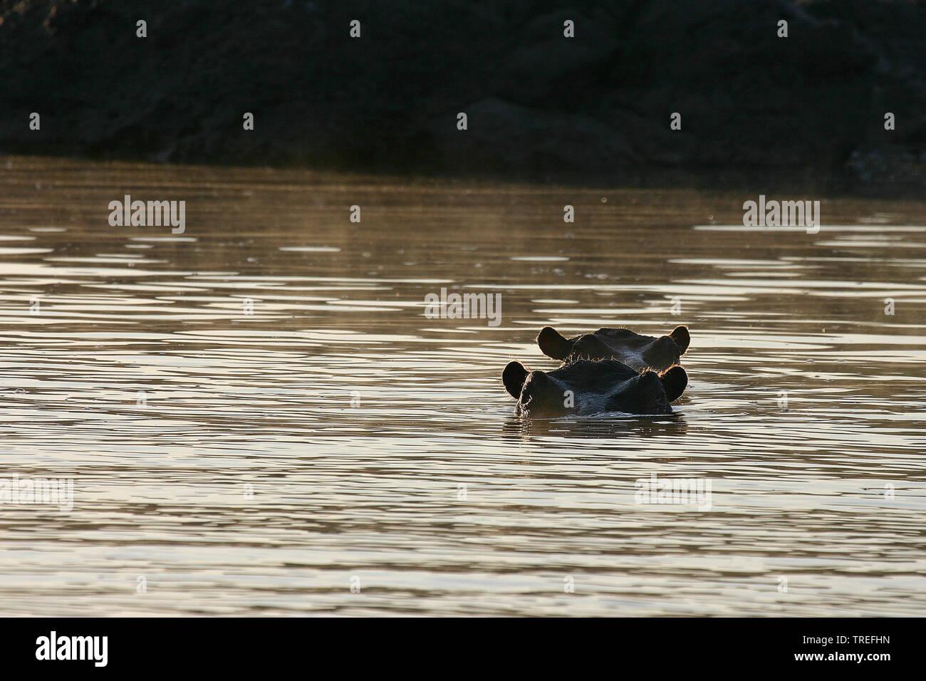 Nilpferd, Flusspferd, Grossflusspferd (Hippopotamus amphibius), zwei Nilpferde schauen aus dem Wasser heraus, Suedafrika | hippopotamus, hippo, Common - Stock Image