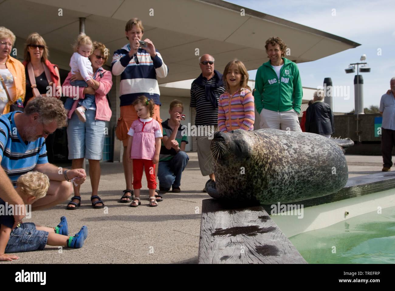 Seehund, See-Hund (Phoca vitulina), doest am Beckenrand und wird von Zoobesuchern bestaunt | harbor seal, common seal (Phoca vitulina), snoozing at th - Stock Image