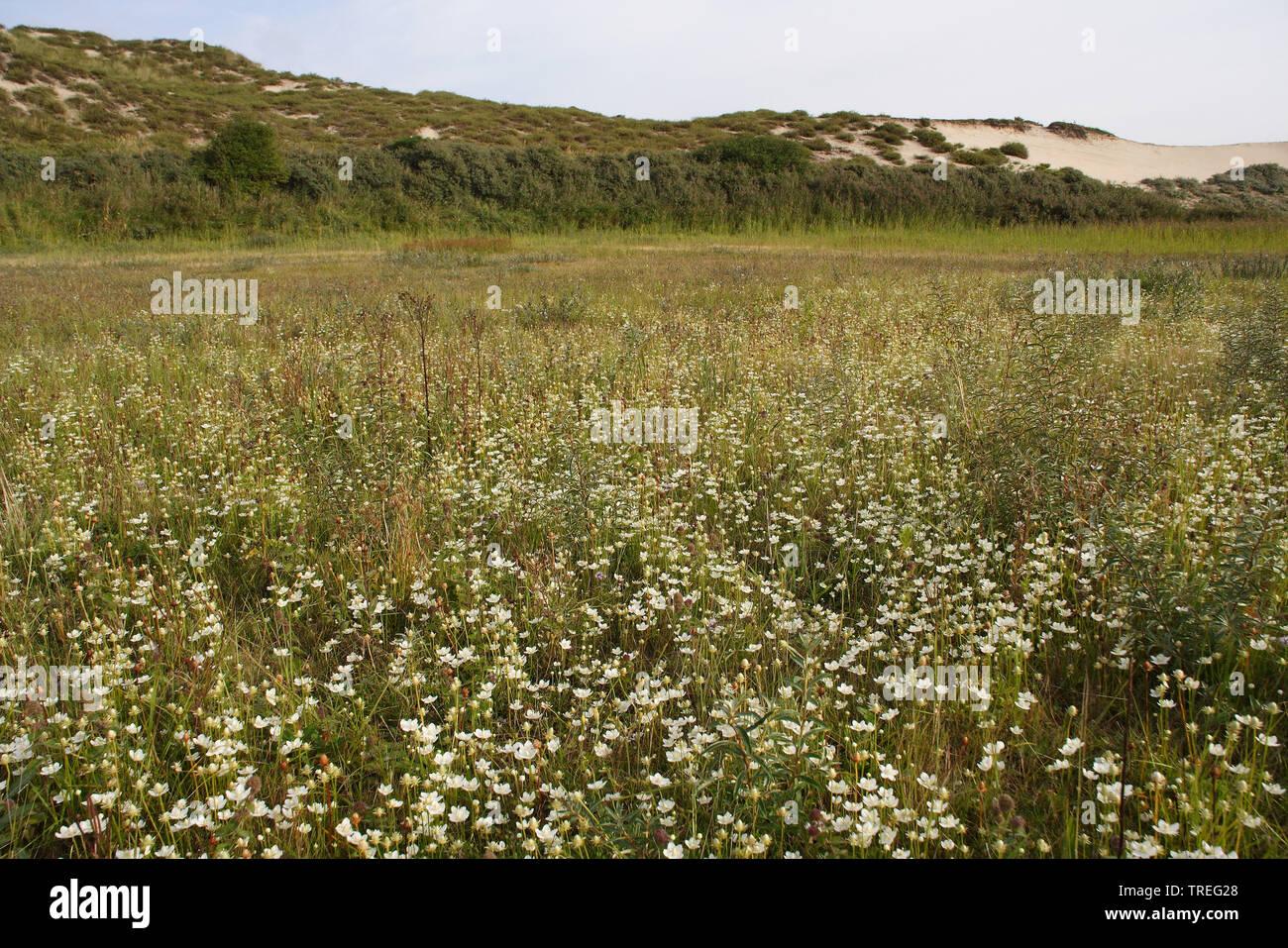 Sumpf-Herzblatt, Sumpfherzblatt, Herzblatt (Parnassia palustris), bluehend in den Duenen, Niederlande, Berkheide, Wassenaar | marsh grass-of-parnassus - Stock Image