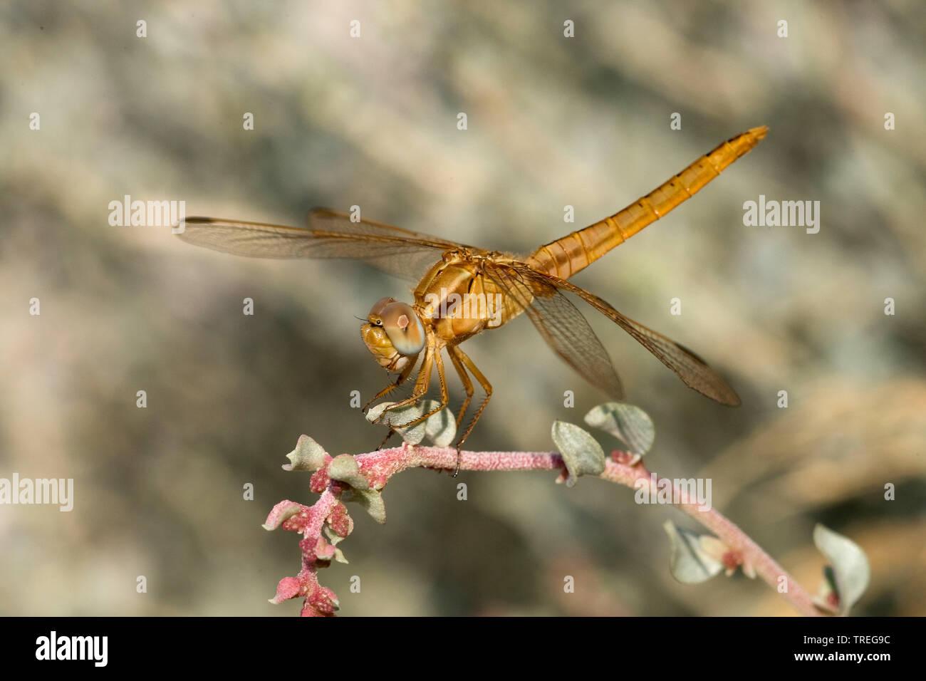 Broad Scarlet, Common Scarlet-darter, Scarlet Darter, Scarlet Dragonfly (Crocothemis erythraea, Croccothemis erythraea), female on a stem, Spain Stock Photo