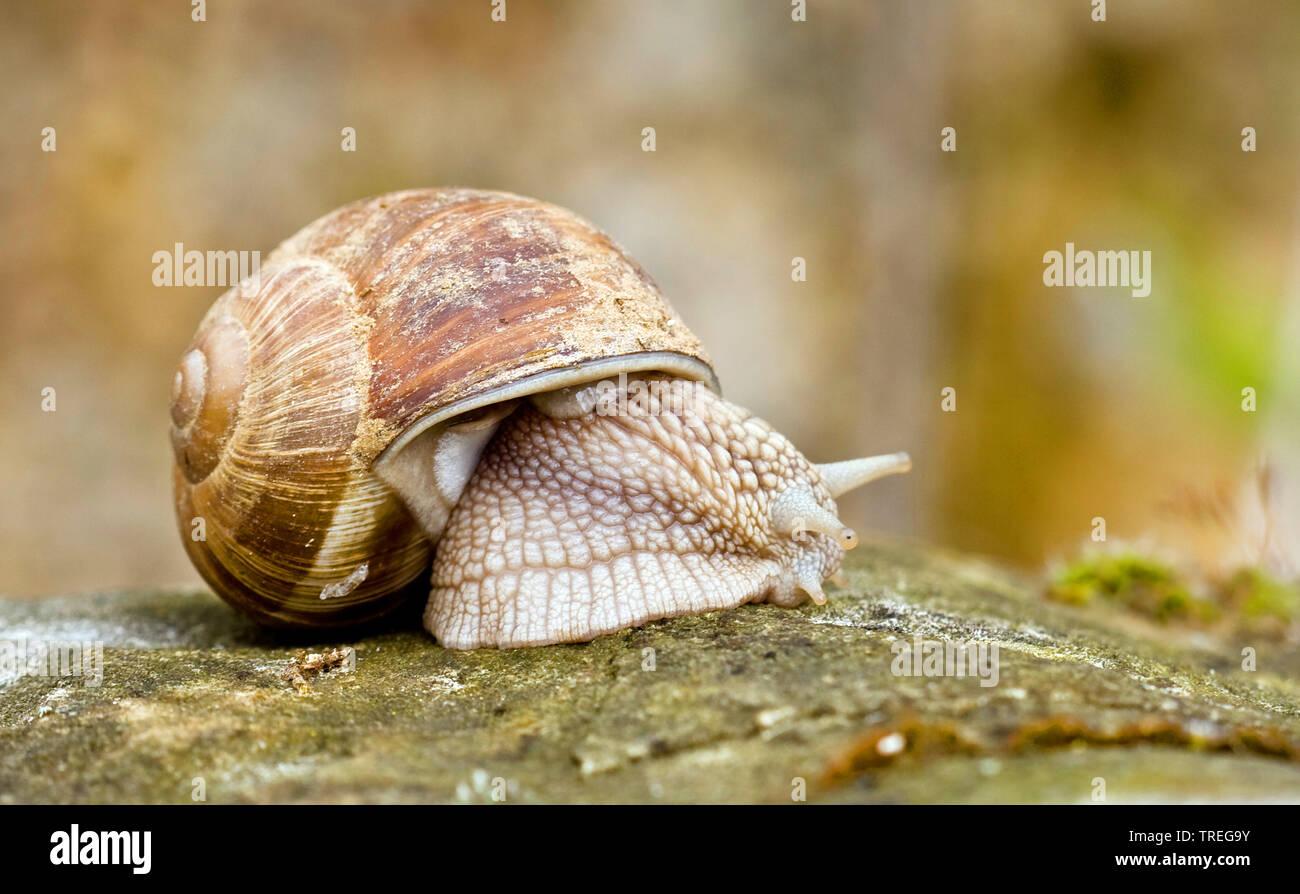 Weinbergschnecke, Weinberg-Schnecke (Helix pomatia), Ganzkoerperansicht, Seitenansicht, Niederlande | Roman snail, escargot, escargot snail, edible sn - Stock Image