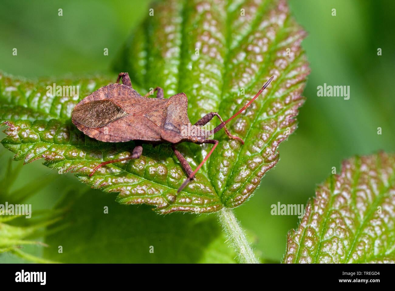 Saumwanze, Saum-Wanze, Lederwanze, Leder-Wanze, Randwanze, Rand-Wanze (Coreus marginatus, Mesocerus marginatus), sitzt auf einem Blatt, Niederlande | - Stock Image