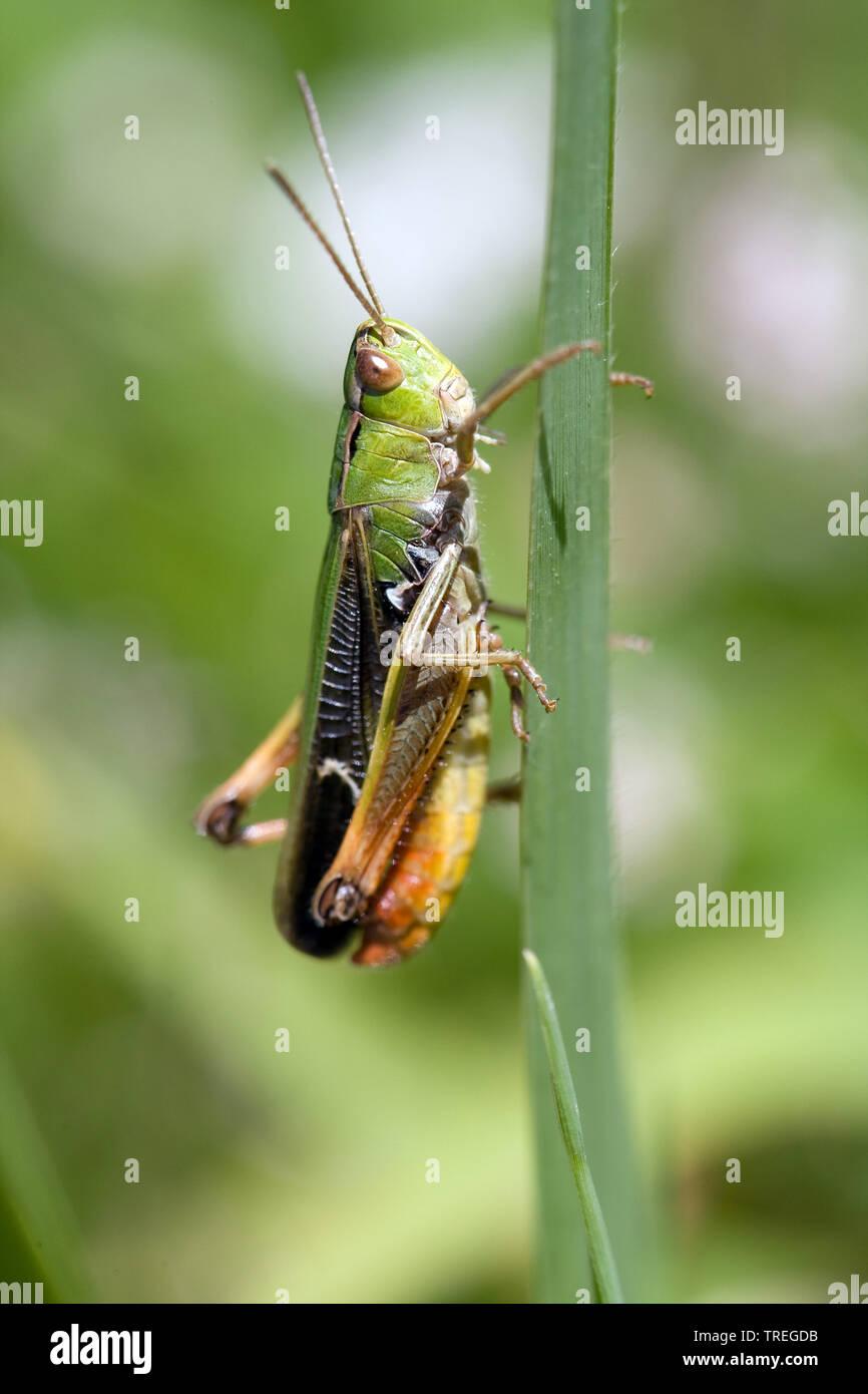 Liniierter Grashuepfer, Panzers Grashuepfer, Heide-Grashuepfer, Heidegrashuepfer (Stenobothrus lineatus), sitzt auf einem Blatt, Deutschland | stripe- - Stock Image