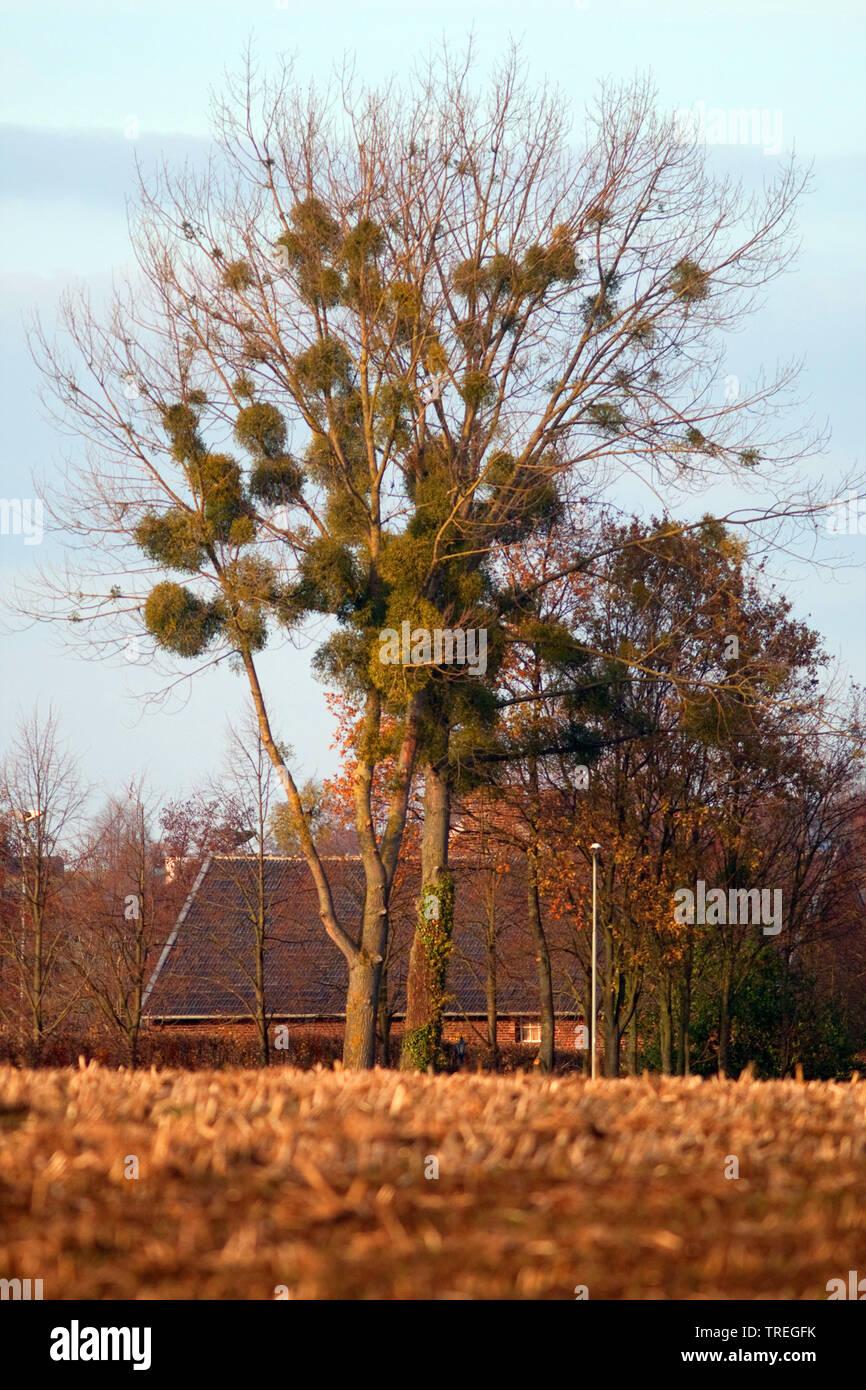 mistletoe (Viscum album subsp. album, Viscum album), tree ...