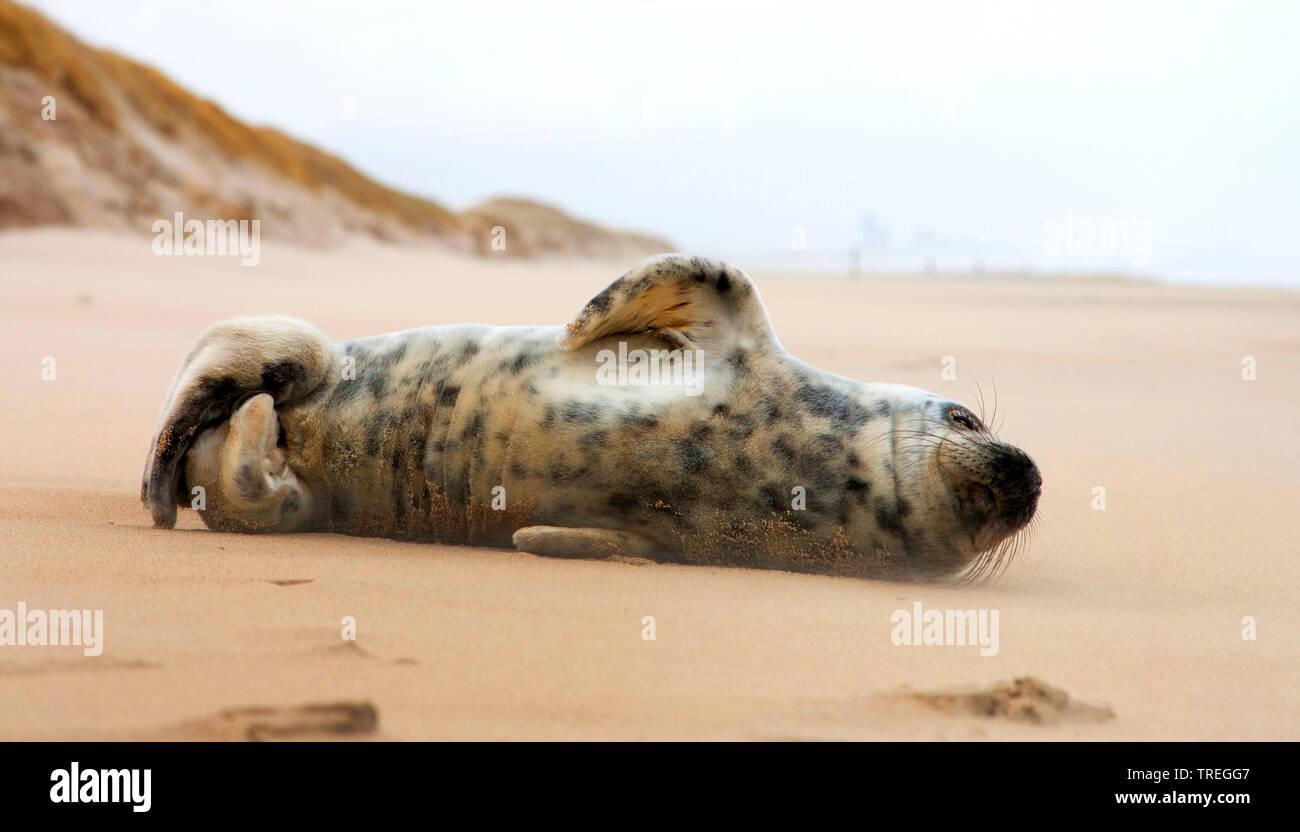 Kegelrobbe, Kegel-Robbe (Halichoerus grypus), liegt am Strand, Niederlande, Katwijk   gray seal (Halichoerus grypus), lying on the beach, Netherlands, - Stock Image