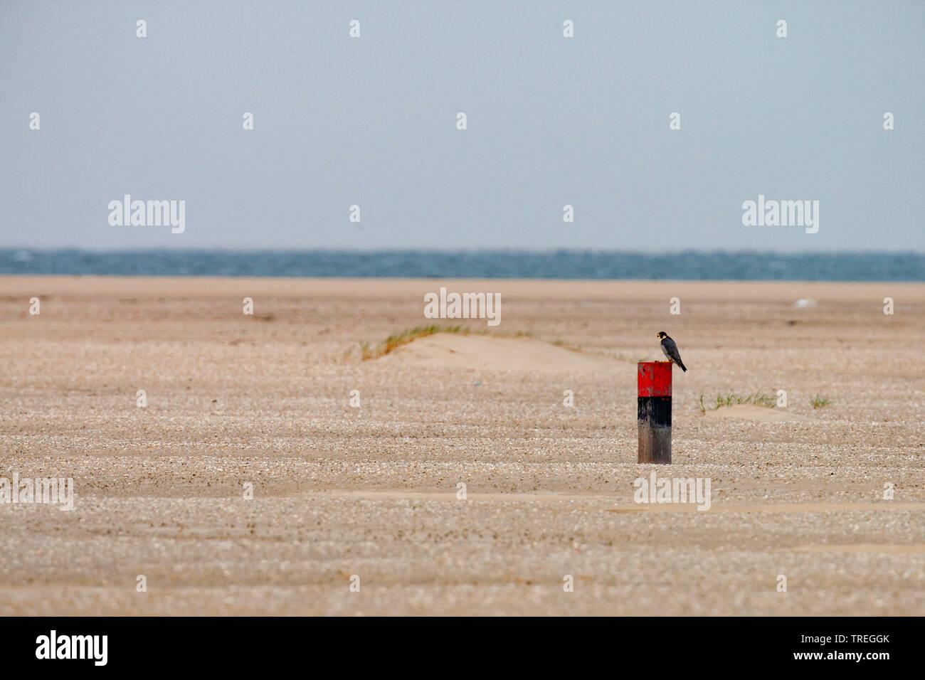 Wanderfalke, Wander-Falke (Falco peregrinus), auf einem Pfosten am Strand, Niederlande, Texel   peregrine falcon (Falco peregrinus), on a post on the - Stock Image