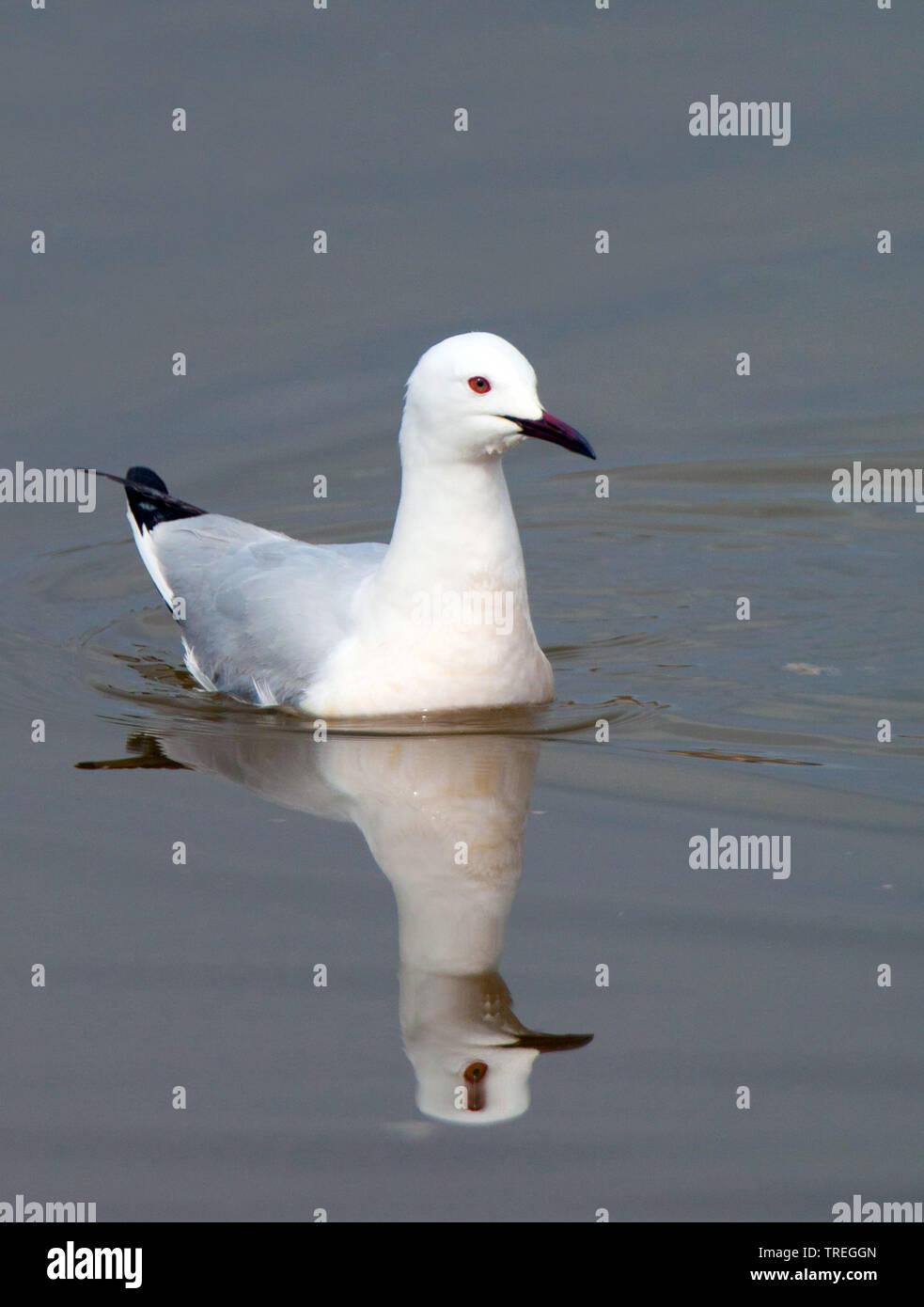 slender-billed gull (Larus genei, Chroicocephalus genei), swimming, Spain Stock Photo