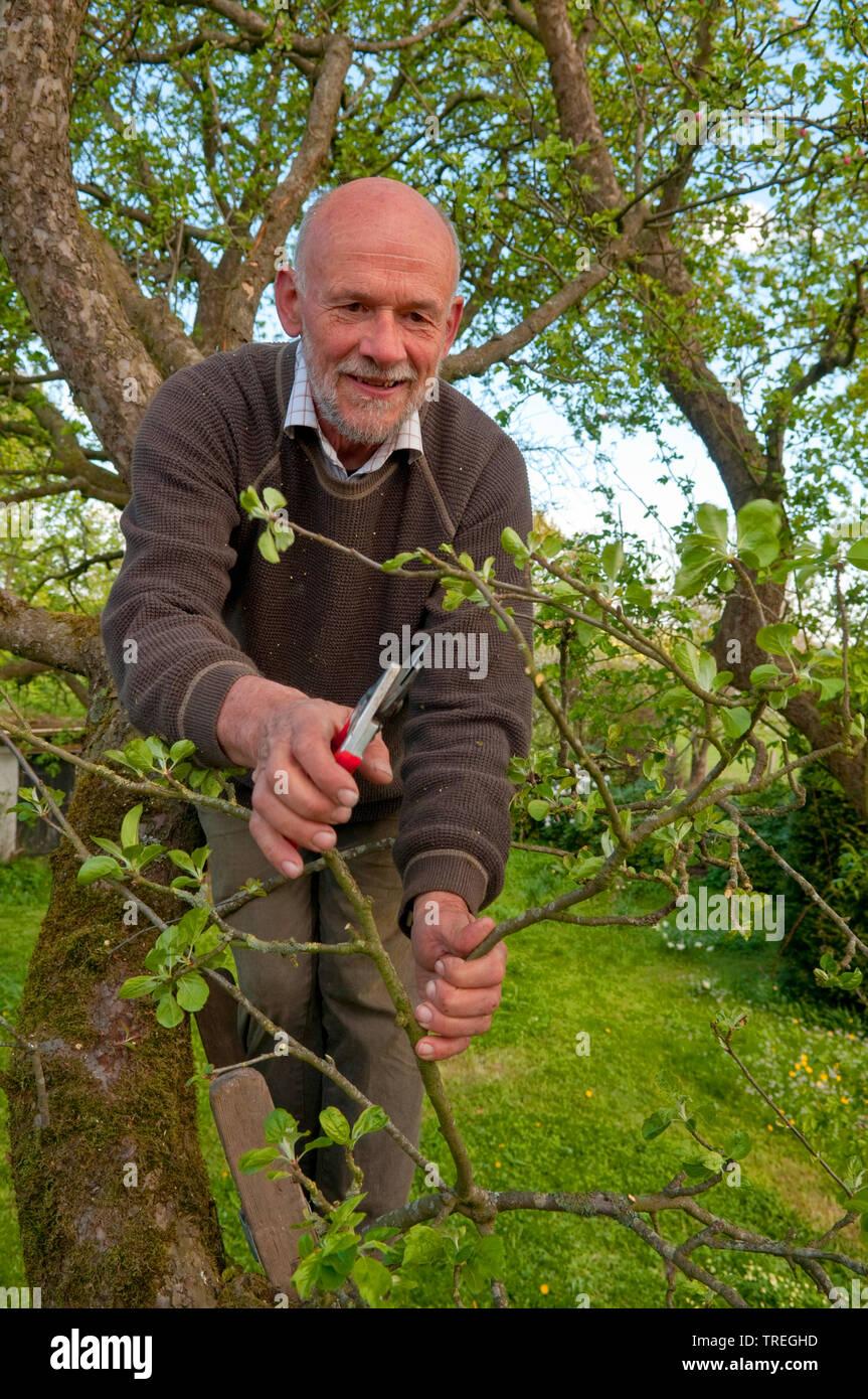 Mann beim Obstbaumschnitt, Deutschland | old man cutting an apple tree, Germany | BLWS526136.jpg [ (c) blickwinkel/C. Kaiser Tel. +49 (0)2302-2793220, - Stock Image