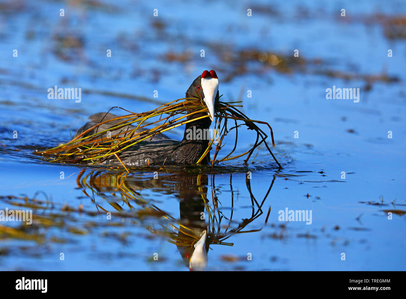 Red-knobbed coot (Fulica cristata), male swimming, feeding on water plants, South Africa, Western Cape, Wilderness National Park Stock Photo