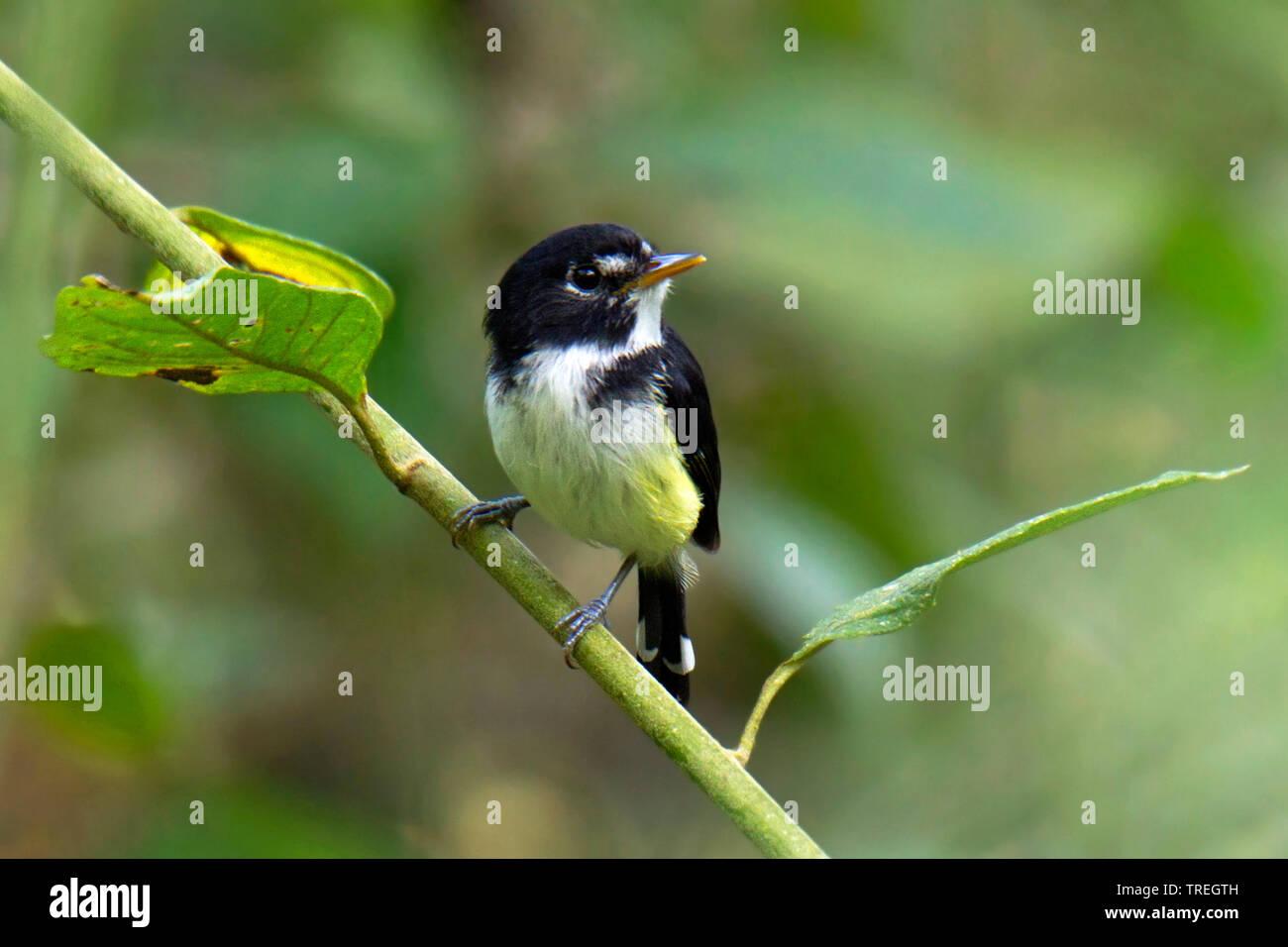 Schwarzweiss-Todityrann, Schwarzweisstodityrann (Poecilotriccus capitalis), auf einem Zweig, Suedamerika | Black-and-white Tody-Flycatcher, Poecilotri - Stock Image
