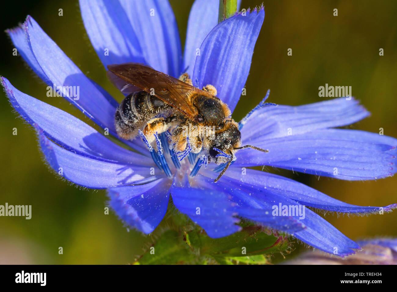 Sechsbindige Furchenbiene, Weissbindige Furchenbiene (Halictus cf. sexcinctus), Bluetenbesuch an Wegwarte, Cichorium intybus, Deutschland | six-banded - Stock Image