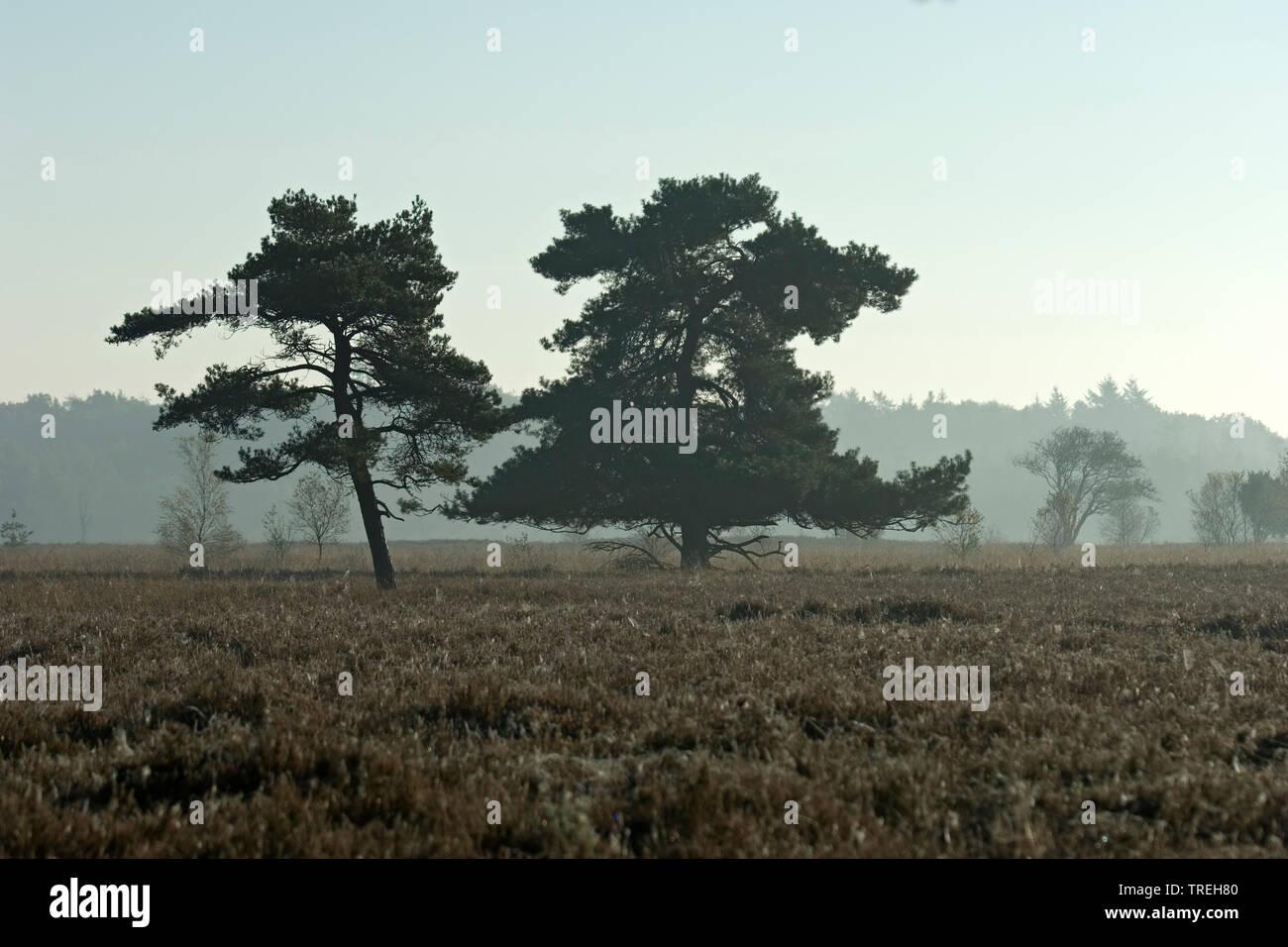 Heidelandschaft im Nationalpark Dwingelderveld im Herbst, Niederlande, Drente, Dwingelderveld Nationalpark | heathland at the Dwingelderveld National - Stock Image