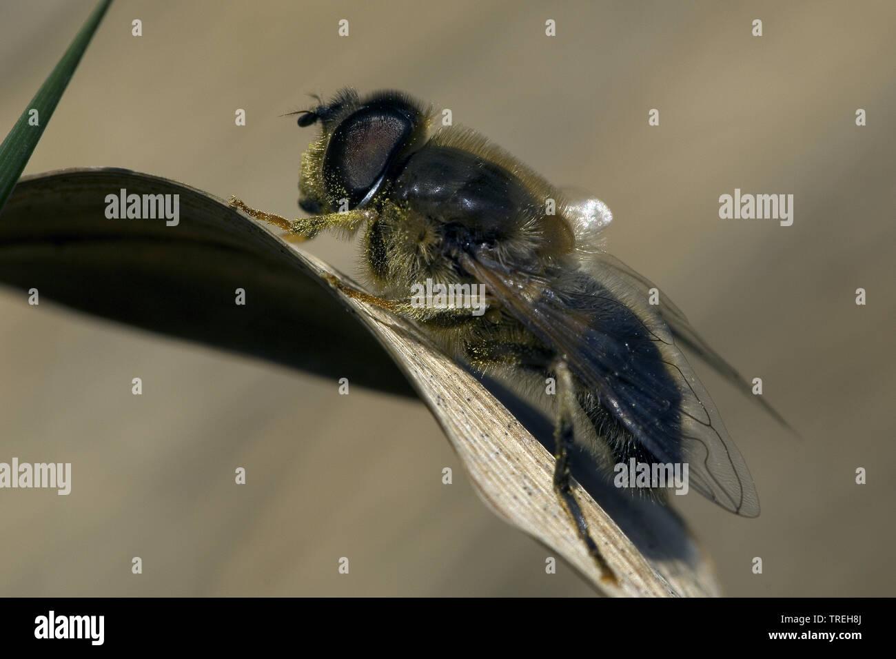 Gemeine Keilfleckschwebfliege, Lange Bienen-Schwebfliege, Lange Bienenschwebfliege (Eristalis pertinax), sitzt auf einem Blatt, Niederlande | Drone fl - Stock Image