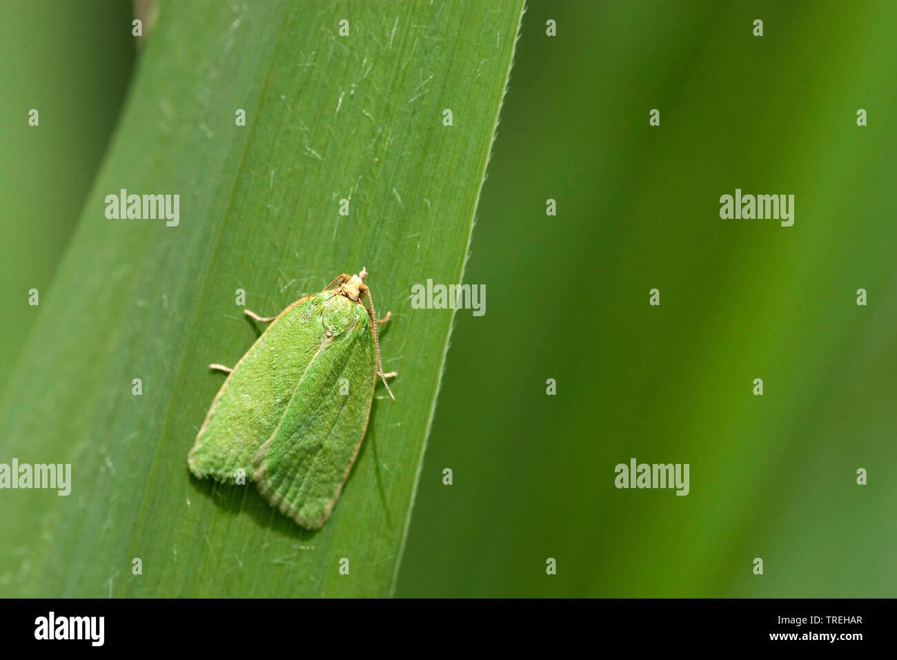 Gruener Eichenwickler (Tortrix viridana), sitzt auf einem Blatt, Niederlande, Noord-Brabant | pea-green oak curl, green oak tortrix, oak leafroller, g - Stock Image