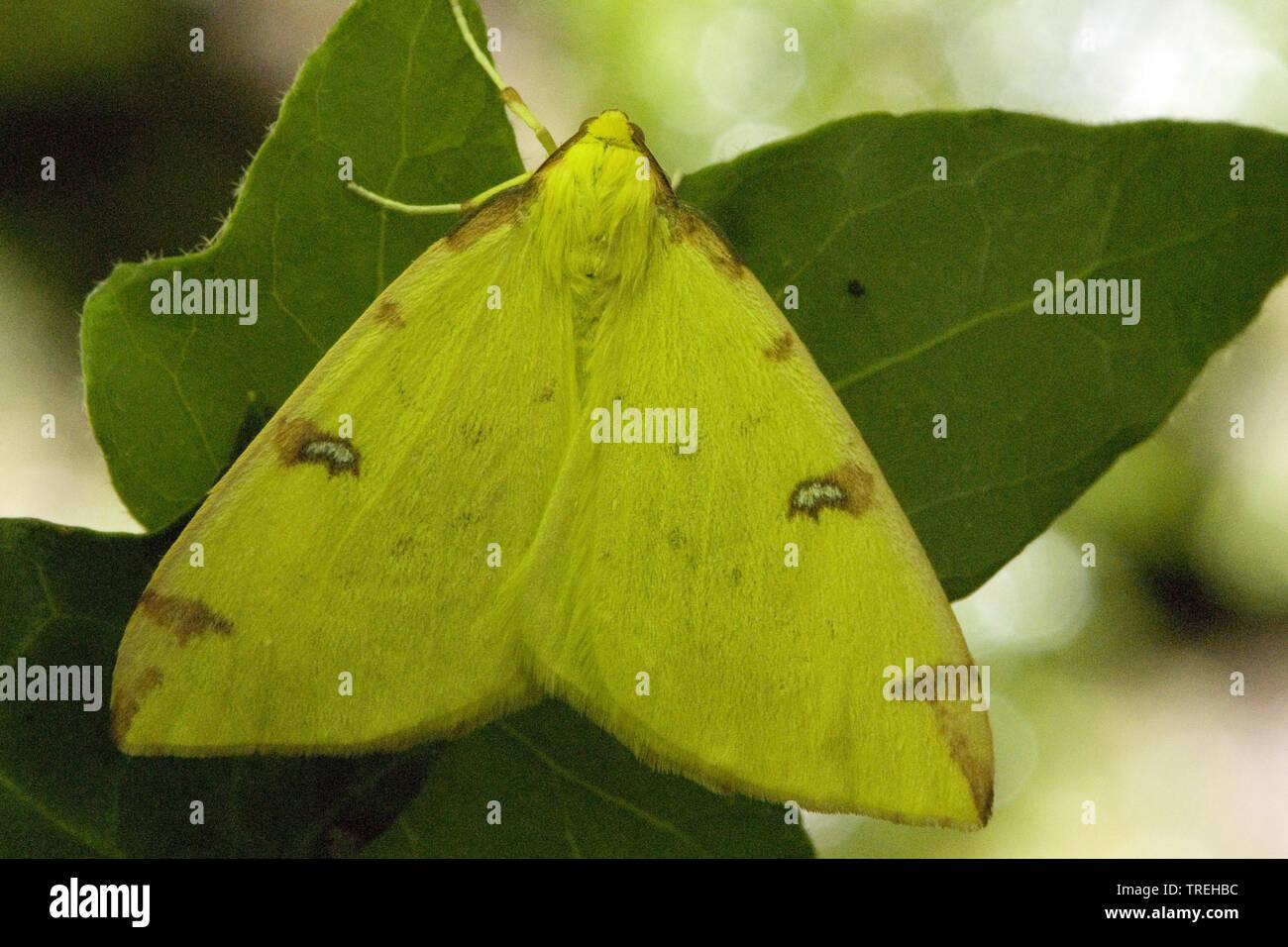 Gelbspanner, Gelb-Spanner, Weissdornspanner, Weissdorn-Spanner, Zitronenspanner, Zitronen-Spanner (Opisthograptis luteolata), sitzt auf einem Blatt, L - Stock Image