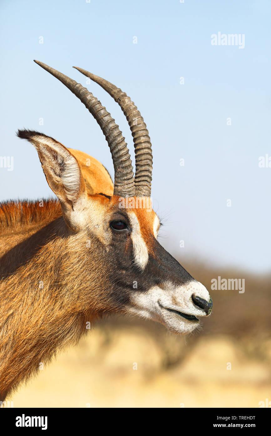 Pferdeantilope, Pferde-Antilope, Roan (Hippotragus equinus), Portraet, Suedafrika   roan antelope (Hippotragus equinus), portrait, South Africa   BLWS - Stock Image