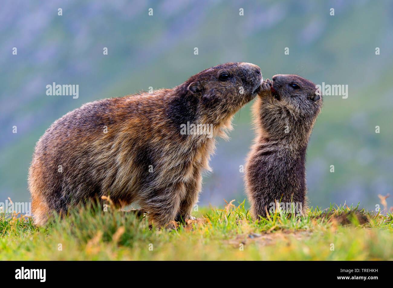 Alpenmurmeltier, Alpen-Murmeltier (Marmota marmota), Mutter mit Jungtier spielend, Oesterreich, Kaernten, Hohe Tauern Nationalpark   alpine marmot (Ma Stock Photo