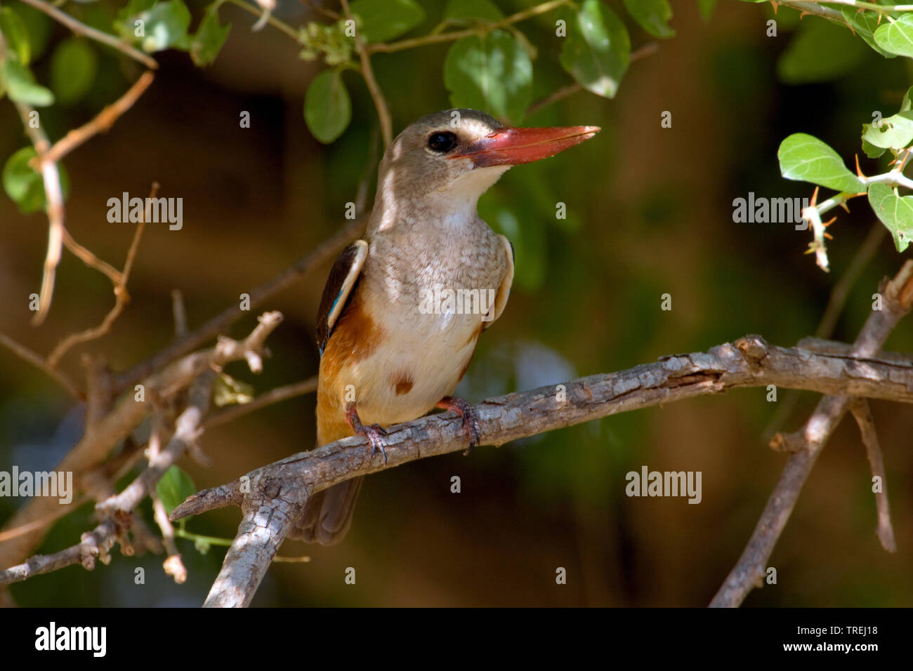 Graukopfliest, Graukopf-Liest (Halcyon leucocephala), sitzt auf einem Ast, Oman, Ayn Hamran   grey-headed kingfisher (Halcyon leucocephala), on a bran - Stock Image
