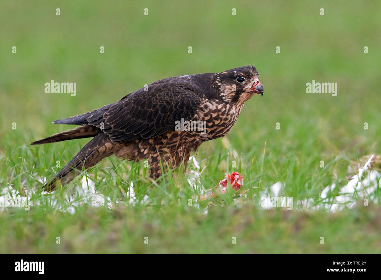 Wanderfalke, Wander-Falke (Falco peregrinus), im Flug, Italien   peregrine falcon (Falco peregrinus), in flight, Italy   BLWS527271.jpg [ (c) blickwin - Stock Image