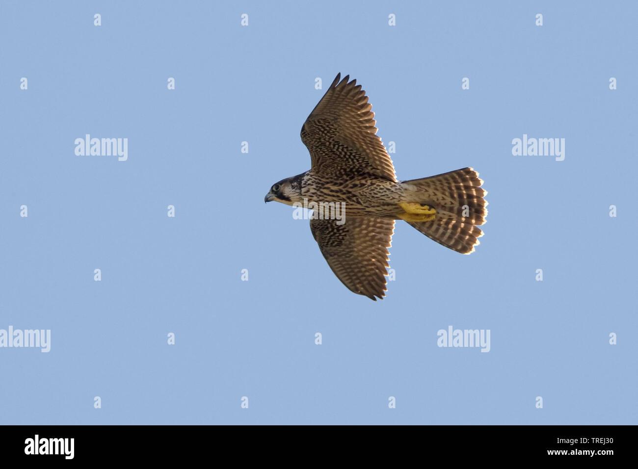 Wanderfalke, Wander-Falke (Falco peregrinus), im Flug, Italien   peregrine falcon (Falco peregrinus), in flight, Italy   BLWS527270.jpg [ (c) blickwin - Stock Image